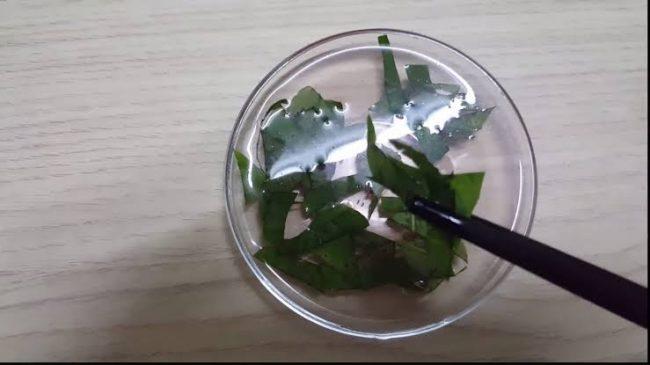 dandelion leaves for pregnancy test
